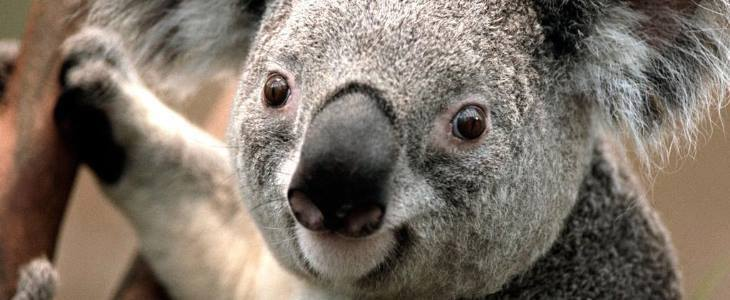 NSW | Koala Tracking & State Forest Camp