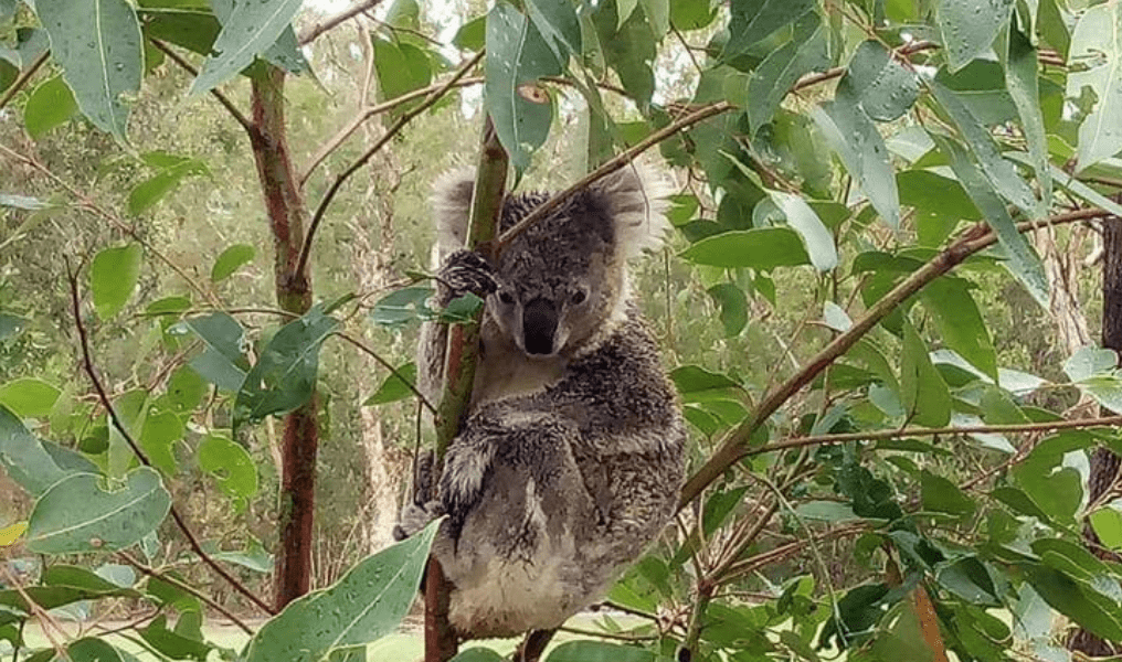NSW |  Koalas and Island Cleanup at Port Stephens